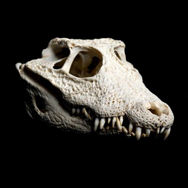 Пронајден е череп на изумрен вид на крокодил