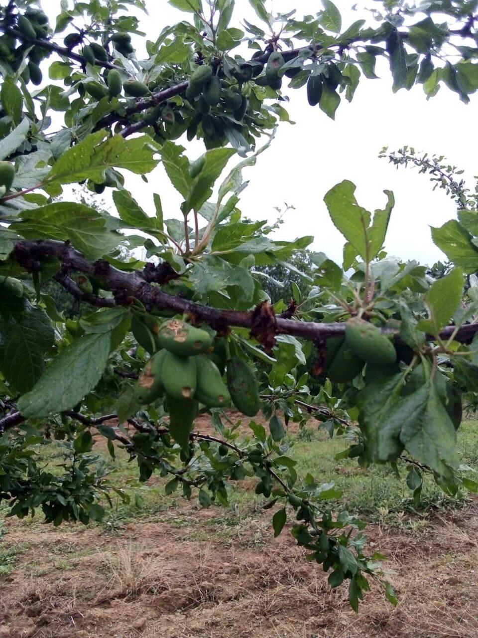 ФОТО: Невреме со град уништи бројни овоштарници во Делчевско