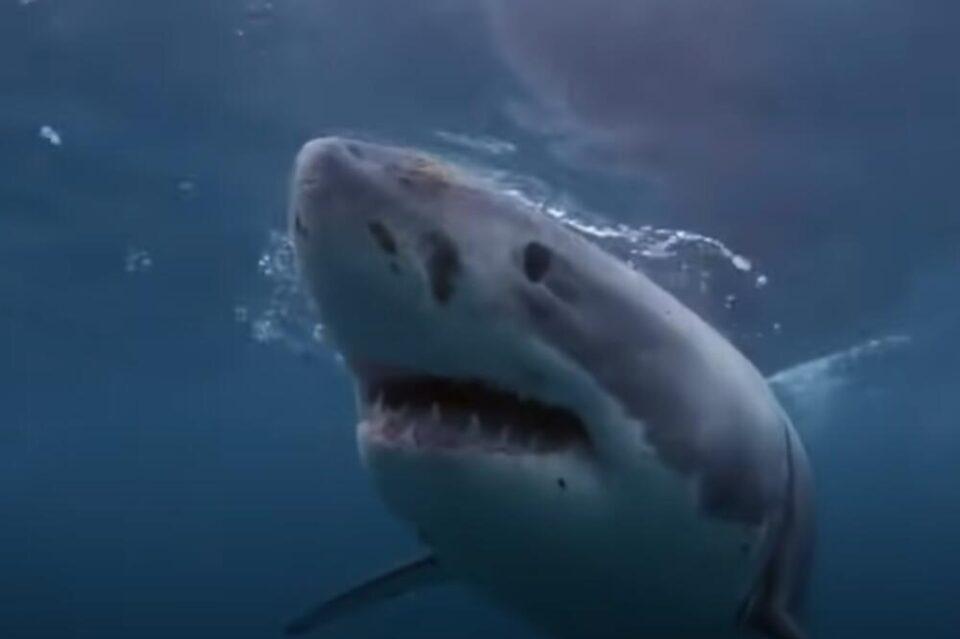 Ајкула доби потомство иако живее во базен само со женки