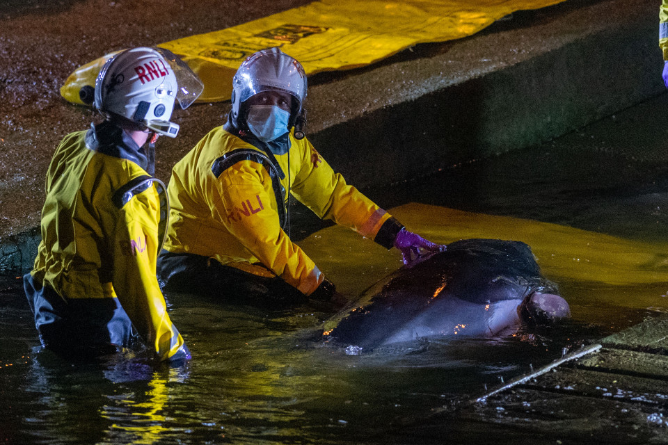 Спасено бебе кит кое заталкало во Темза (ВИДЕО)