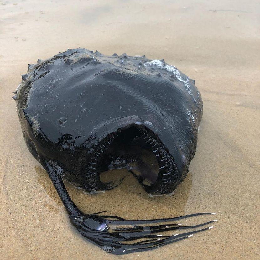 """ФОТО: """"Чудовиште"""" од морските длабочини пронајдено на самиот брег – научниците се обидуваат да дознаат како тоа се случило!"""