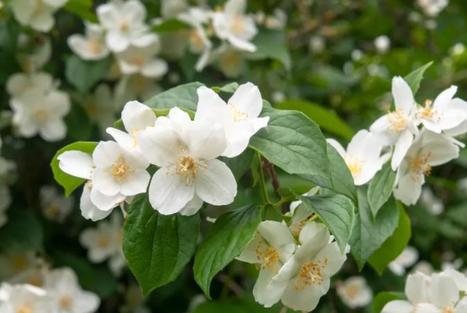 Бел јасмин: Издржлив цвет од кој ќе замириса целиот двор или тераса