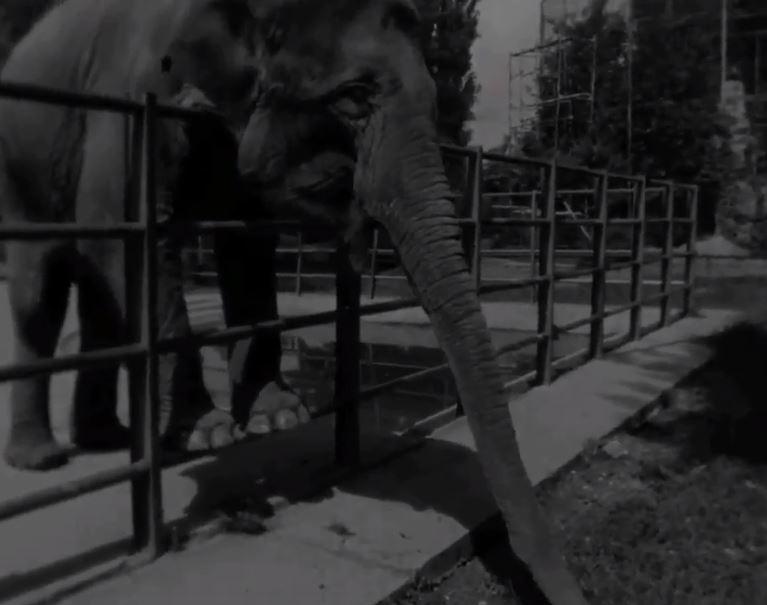 ВИДЕО: Објавена снимка стара 46 години од слоницата Анка од Зоо Скопје
