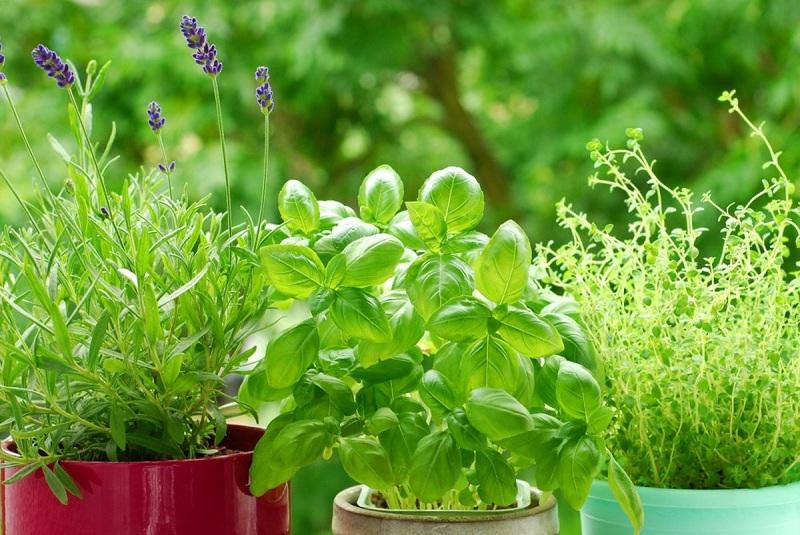 Не трошете пари на скапи препарати: Посадете ги овие билки, тие ќе ги избркаат комарците и бубачките