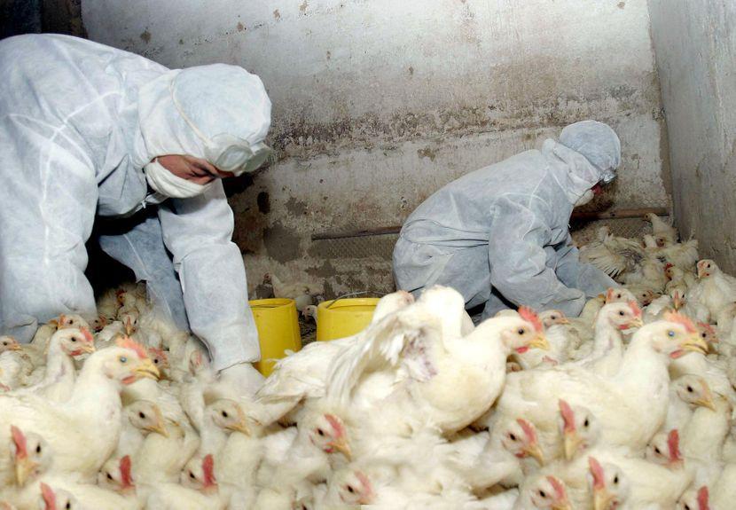 Потврдени првите со птичји грип во Албанија, болеста присутна во три жаришта
