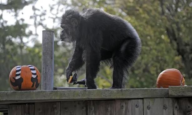 Умре најстарото шимпанзо во зоолошките градини во САД