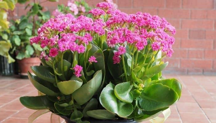 Ова цвеќе мора да го имате дома, заменува десетина антибиотици