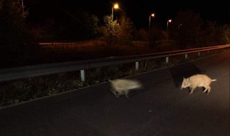 Диви свињи шетаат на пат во Охрид (ФОТО)