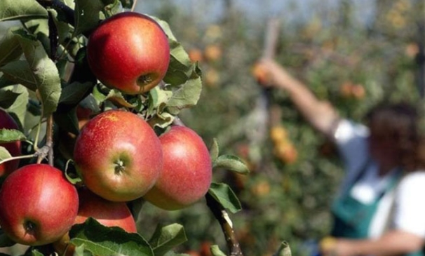 Традиционално на Крстовден почнува бербата на преспанското јаболко