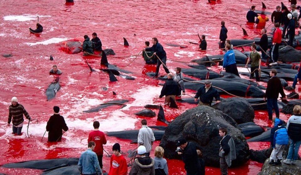 УЖАСНА ТРАДИЦИЈА: Убиени околу 1.500 китови и делфини на фестивал