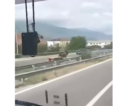 Полицијата поднесе пријава против сопственикот на коњот кој се движеше во спротивна насока на автопат