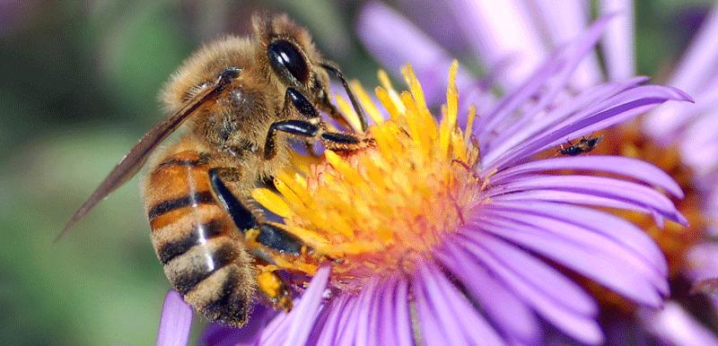 Американската пчела исчезнува