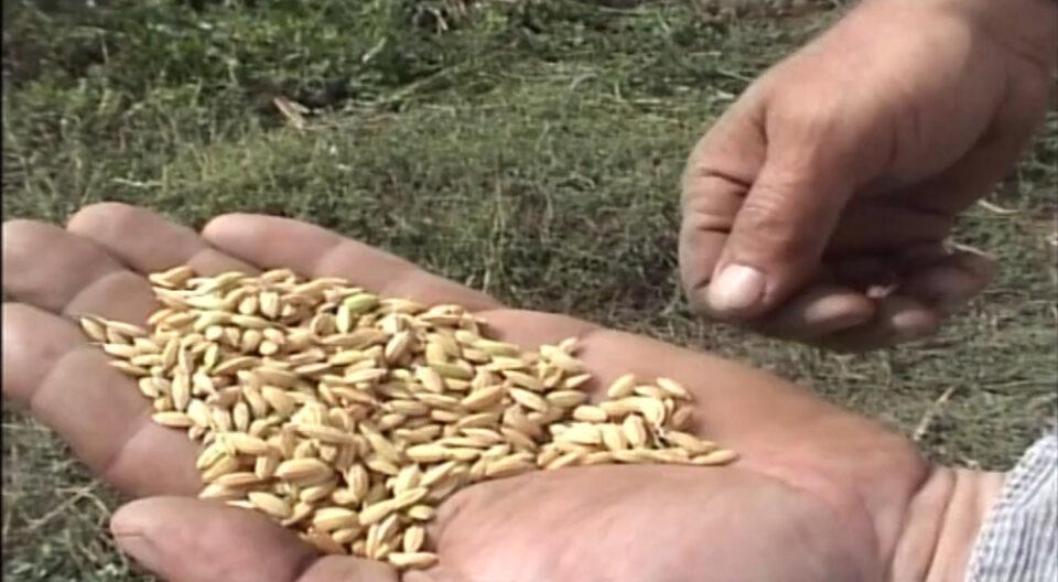 Оризoпроизводителите од Кочанско излегуваат на протест: Цените се депресивни